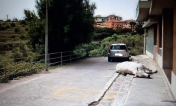 RAGUSA: MUCCA IMPAZZITA NEL CENTRO CITTA', UCCISA DALLE FORZE DELL'ORDINE